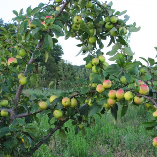 orchard-kordick-family-farm-mount-airy-pilot-mountain-north-carolina-apples-cider-syrup-baba-yaga