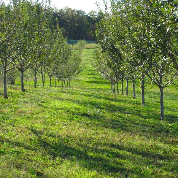 northern-spy-alley-kordick-family-farm-mount-airy-pilot-mountain-north-carolina-apples-cider-syrup-baba-yaga