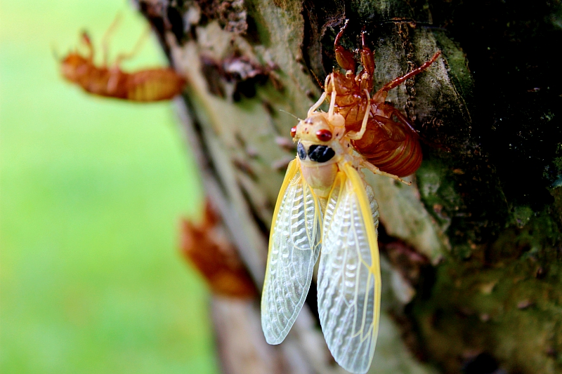 Brood IX Periodical Cicada Molting in Apple Tree