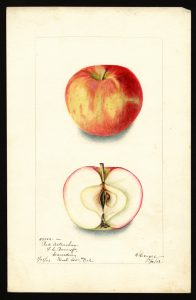 Red Astrachan Apple