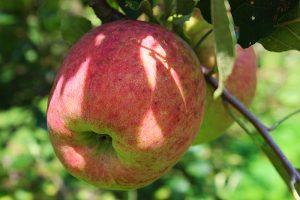 Summer King Apple