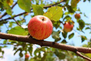 Tarbutton Apple