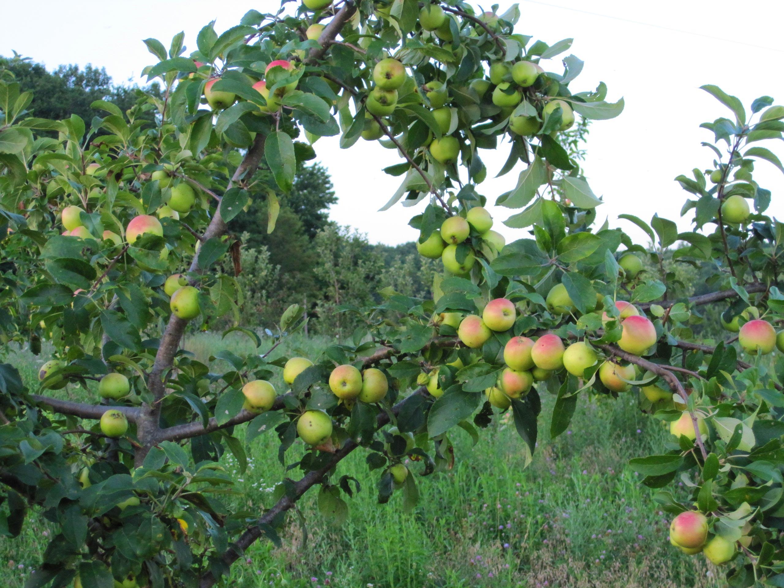 baba-yaga-by-kordick-family-farm-mount-airy-pilot-mountain-north-carolina-apples-cider-syrup-baba-yaga